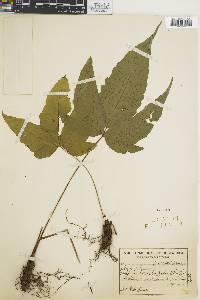 Tectaria heracleifolia image