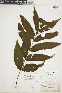 Tectaria lizarzaburui image