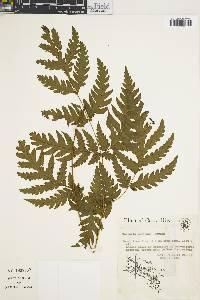 Tectaria mexicana image