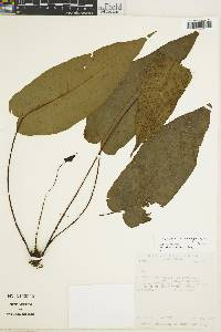 Tectaria nicaraguensis image