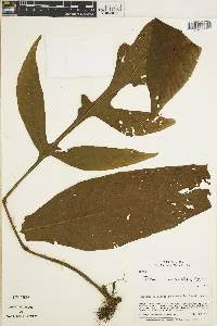 Tectaria nicotianifolia image