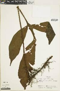 Tectaria euryloba image