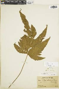 Tectaria pilosa image