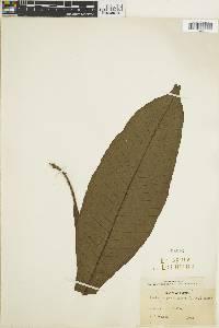 Tectaria plantaginea image