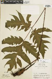 Tectaria athyrioides image
