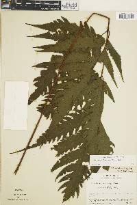 Tectaria rheosora image
