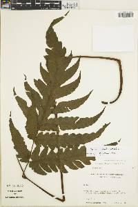 Tectaria rivalis image