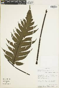 Tectaria subebenea image