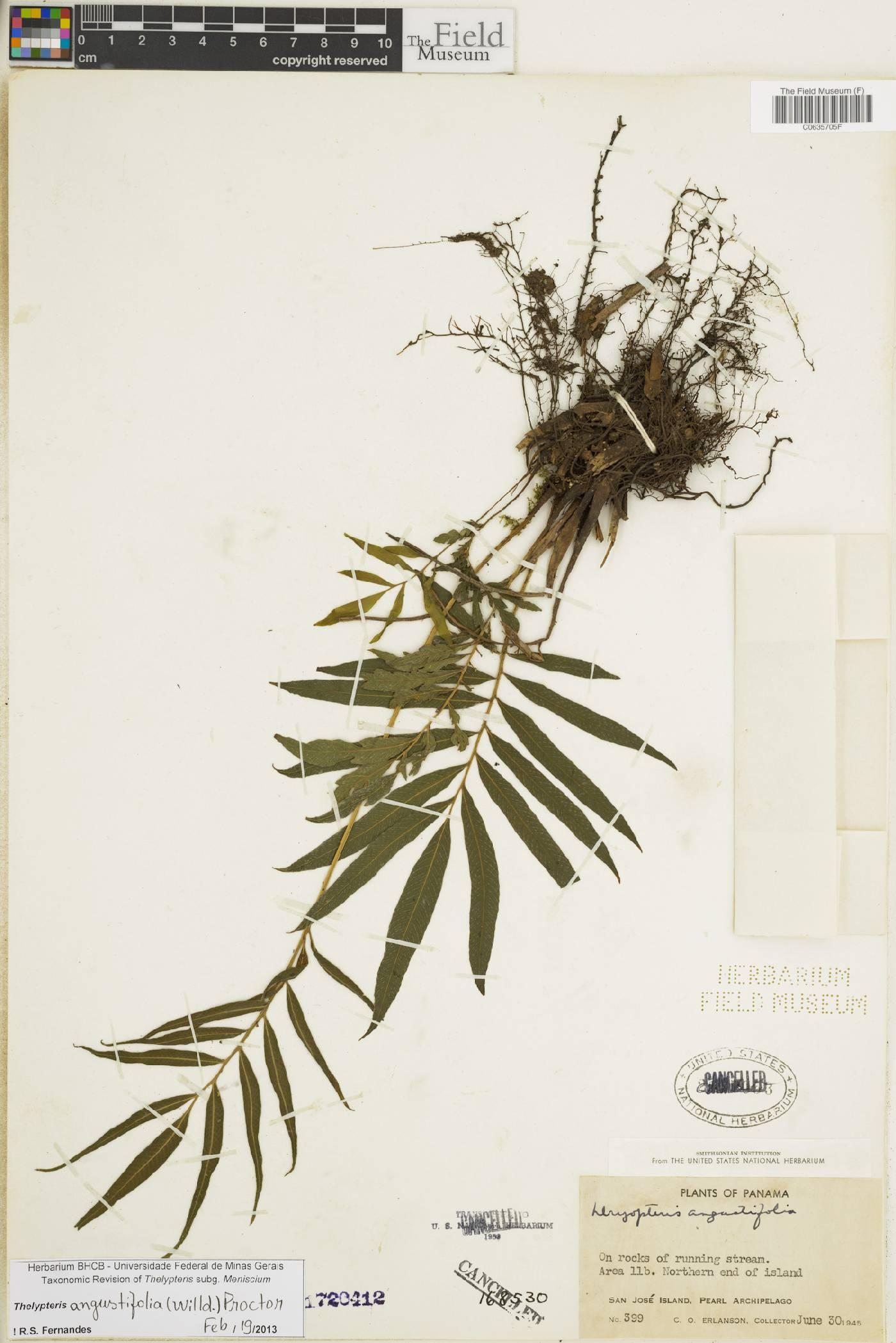 Thelypteris angustifolia image