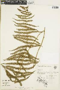 Thelypteris balbisii image
