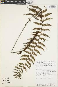 Image of Thelypteris chiriquiana