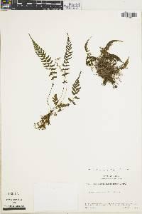 Thelypteris cinerea image