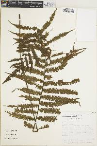 Image of Thelypteris croatii