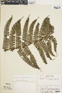 Thelypteris decussata image