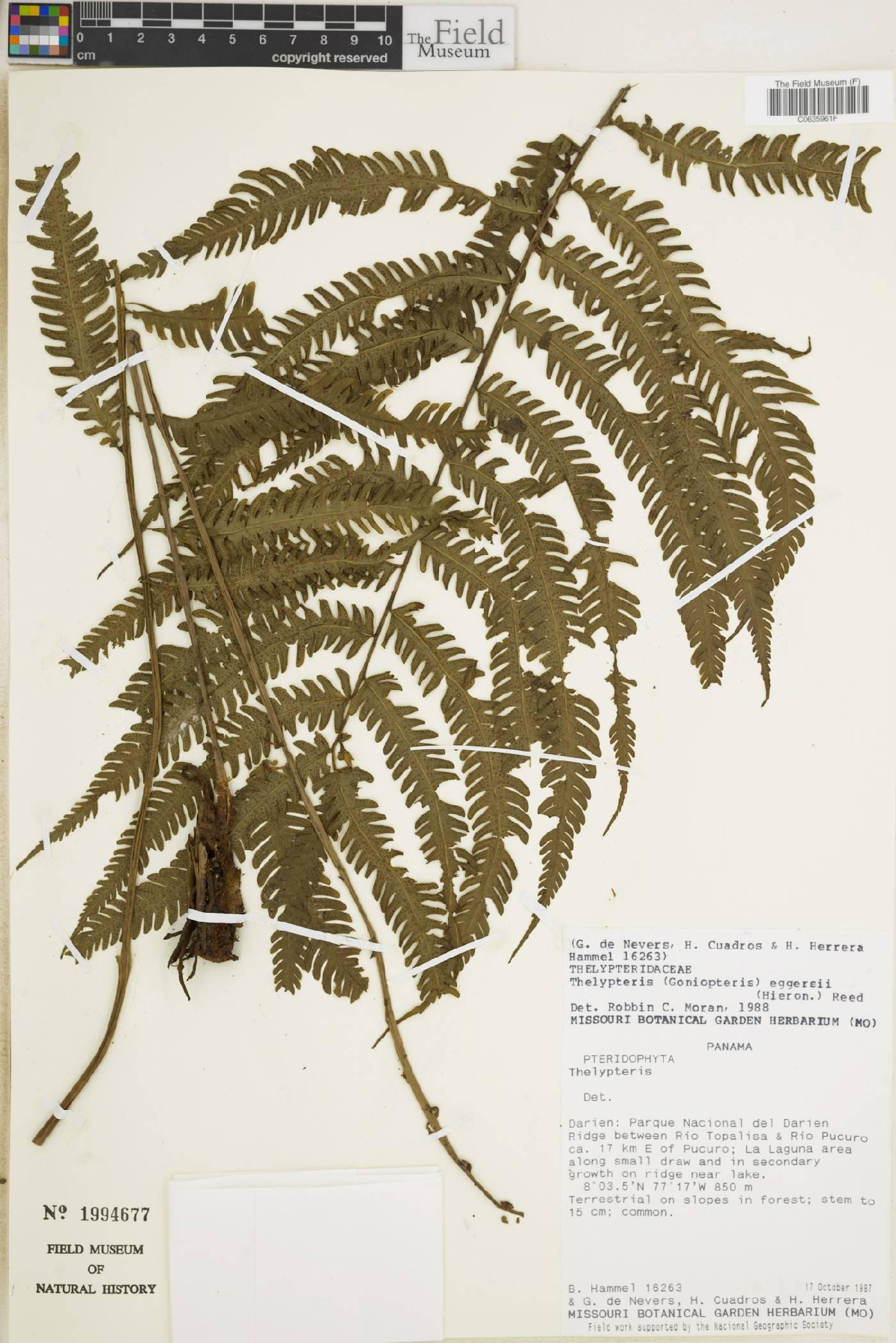 Thelypteris eggersii image