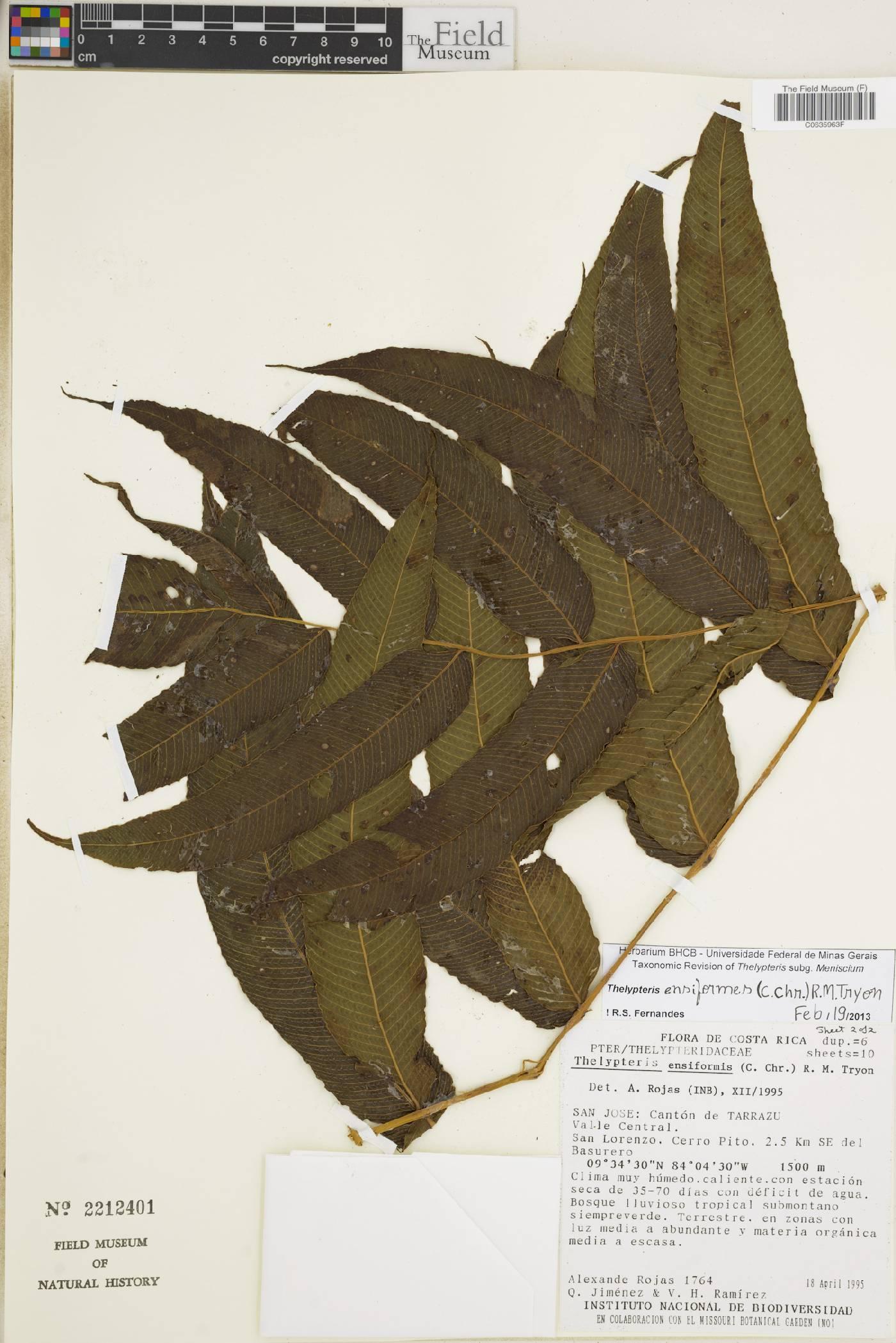 Thelypteris ensiformis image