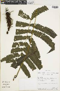 Image of Thelypteris equitans