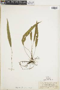 Thelypteris francoana image