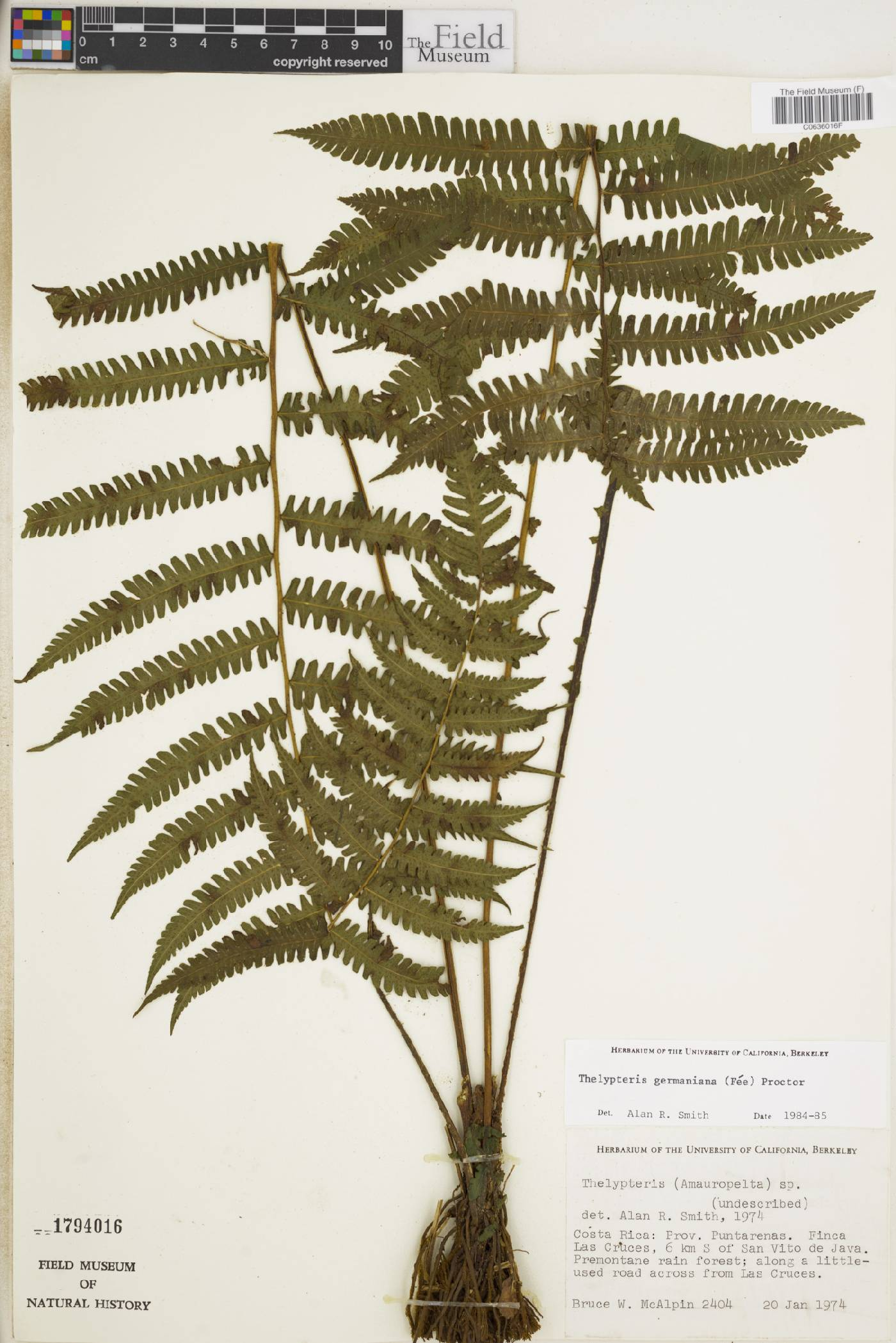 Thelypteris germaniana image