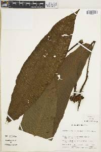 Thelypteris gigantea image