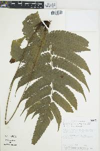Image of Thelypteris glandulosa