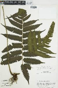 Thelypteris glandulosa image