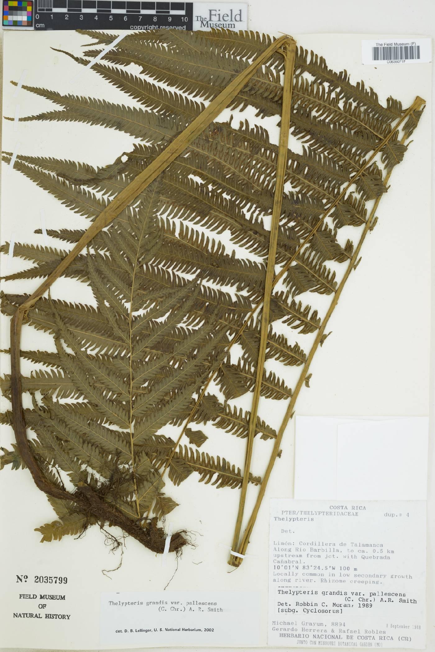 Thelypteris grandis image