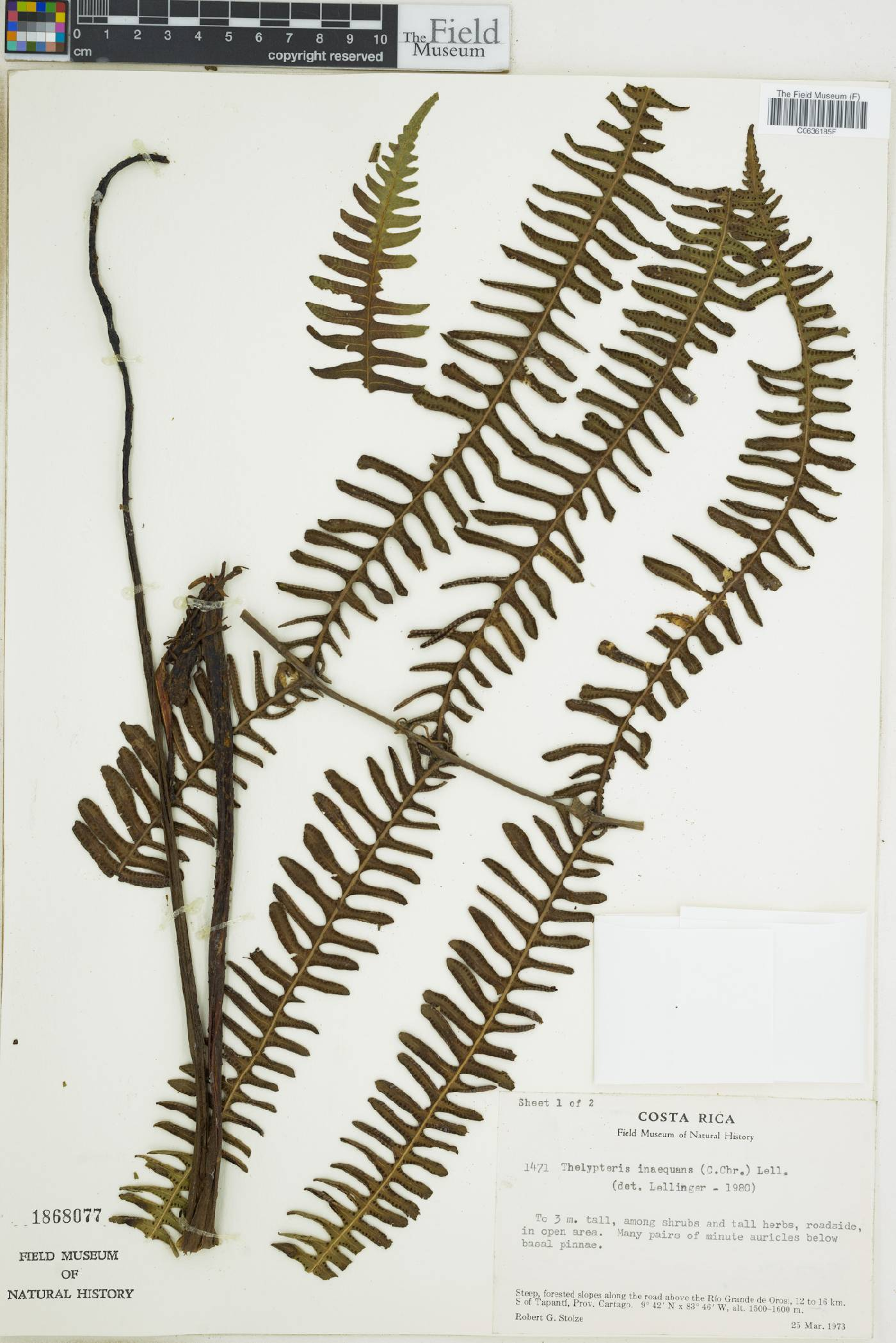 Thelypteris inaequans image