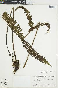 Image of Thelypteris inaequans