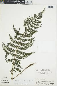 Thelypteris jimenezii image
