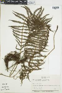 Image of Thelypteris kunthii