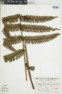 Thelypteris leprieurii image