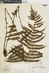 Thelypteris pilosula image
