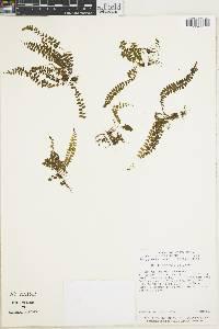 Thelypteris pusilla image