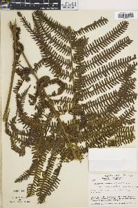 Thelypteris thomsonii image