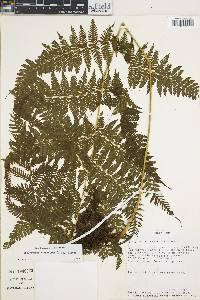 Thelypteris torresiana image