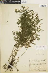 Diplazium ferulaceum image