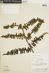 Diplazium carnosum image
