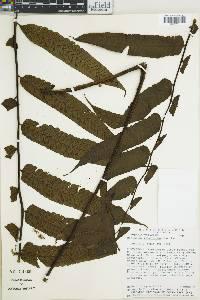 Diplazium grandifolium image