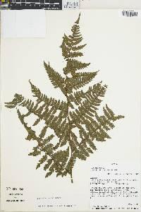 Diplazium herbaceum image