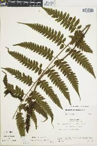 Diplazium lonchophyllum image