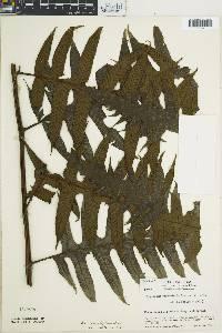 Image of Diplazium ceratolepis