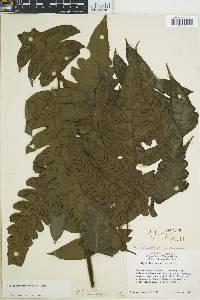 Diplazium macrophyllum image