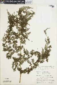 Diplazium myriomerum image