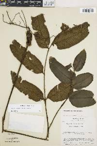 Image of Diplazium paucipinnum