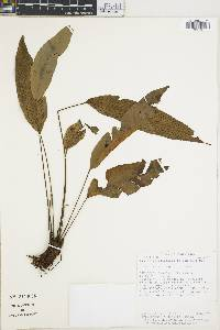 Image of Diplazium plantaginifolium