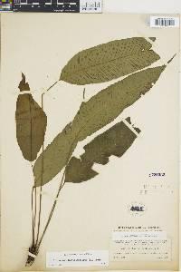 Diplazium plantaginifolium image