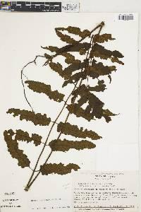 Diplazium urticifolium image