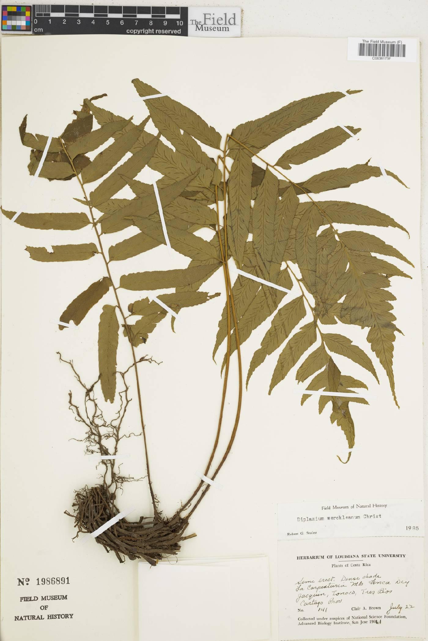 Diplazium werckleanum image