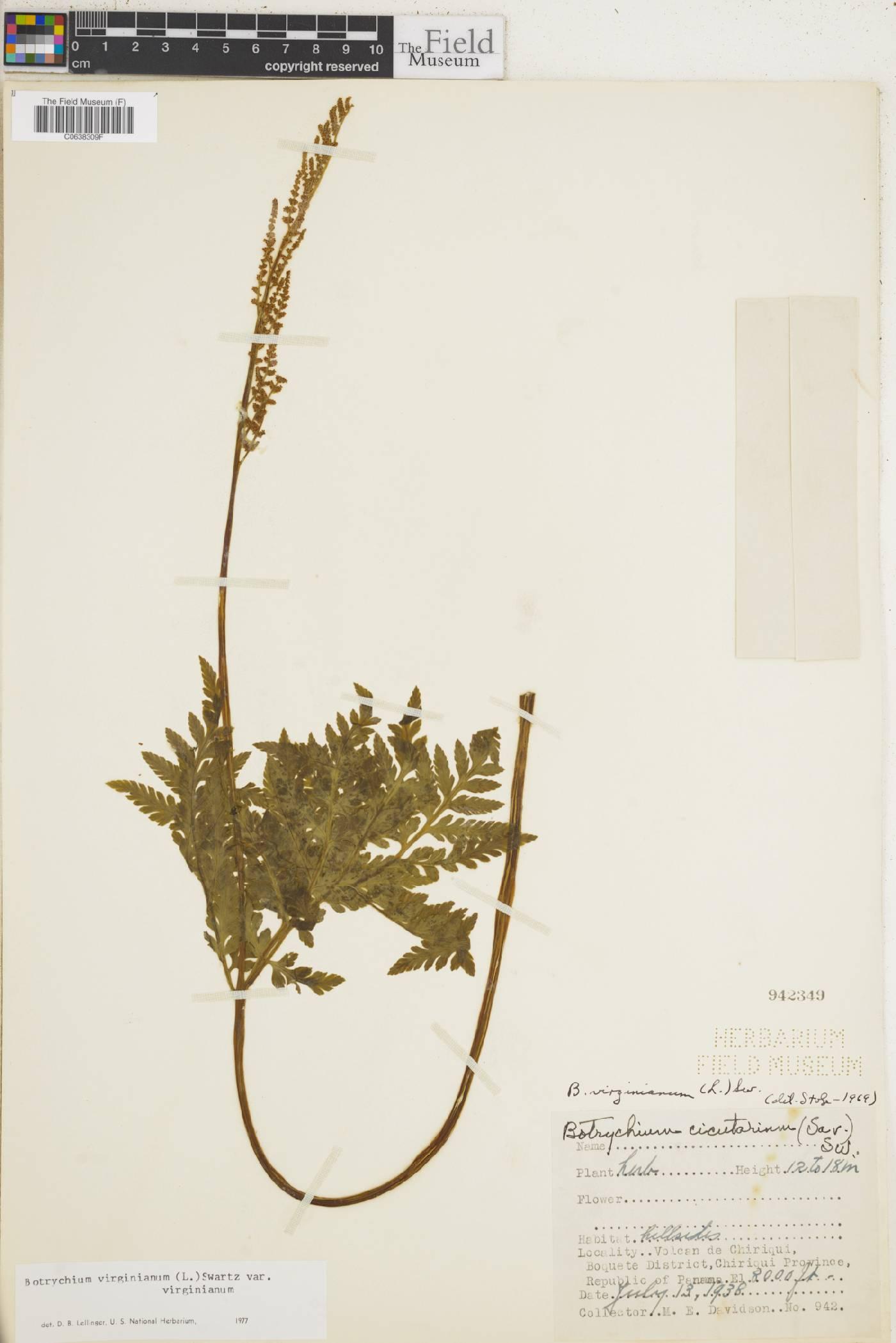 Botrychium virginianum image